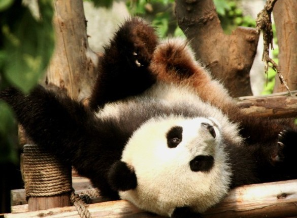 大熊猫 动物 585