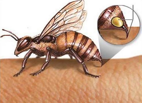 蜜蜂的结构图片